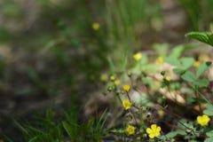 在一个被弄脏的背景照片图象的黄色森林花 免版税库存图片