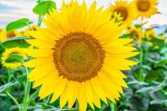 在一个被弄脏的背景领域的美丽的开花的向日葵 免版税库存图片