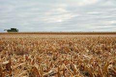 在一个被收获的玉米领域的新鲜的发茬 免版税图库摄影