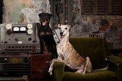 在一个被放弃的地堡的两条狗 俄国 库存图片