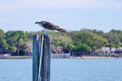 在一个被放弃的速度标志的一只老鹰 图库摄影