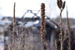 在一个被烧的房子的背景的一朵干花 库存图片