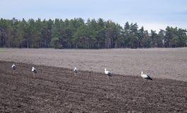 在一个被犁的领域的鹳 鸟寻找在领域的食物 图库摄影