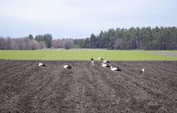 在一个被犁的领域的鹳 鸟寻找在领域的食物 免版税库存照片