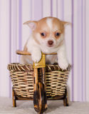 在一个被编织的镶边帽子的奇瓦瓦狗小狗在自行车 免版税库存图片