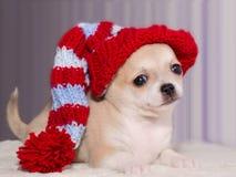 在一个被编织的镶边帽子的奇瓦瓦狗小狗 免版税图库摄影