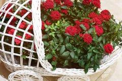 在一个装饰篮子的美丽的玫瑰 库存照片