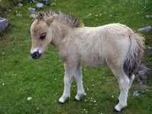 在一个象草的草甸的苍白奶油色小驹 免版税库存照片