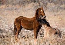 在一个象草的领域的两匹争吵的野生公马 免版税库存照片