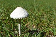 在一个象草的领域的唯一蘑菇 库存图片