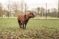 在一个象草的领域的山羊看对,伸出他的舌头和做一张滑稽的面孔的边和哭诉 免版税库存照片