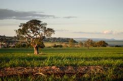 在一个象草的领域的树 免版税库存照片