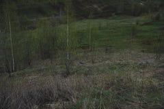 在一个豪华的绿色倾斜的云杉的树 在距离 在天空的几朵云彩在日落 免版税库存图片