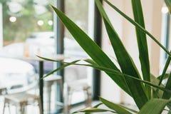 在一个轻的现代咖啡馆前提里面的绿色植物 在背景中,桌和椅子在大旁边被弄脏 免版税库存图片