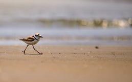 在一个遥远的海滩的马来西亚珩科鸟 Pranburi森林公园, Prachup Khiri可汗,泰国 免版税库存照片