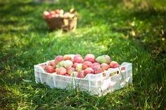 在一个配件箱堆积的苹果在庭院里 免版税库存照片