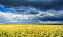 在一个金黄领域的暴风云 免版税库存照片