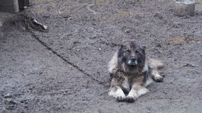 在一个链子的大邪恶的看家狗在摊附近和是被保护区 股票录像