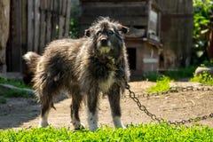 在一个链子的杂种狗在村庄守卫宅基的 库存图片