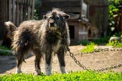 在一个链子的杂种狗在村庄守卫宅基的 库存照片