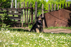 在一个链子的杂种狗在村庄守卫宅基的 免版税库存图片