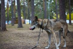 在一个链子的杂色的皮包骨头的狼在公园 库存照片