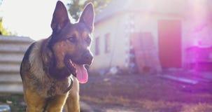 在一个链子的狗在围场 在村庄守卫宅基的狗 股票录像