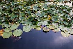 在一个镇静池塘的水Lillies 库存照片