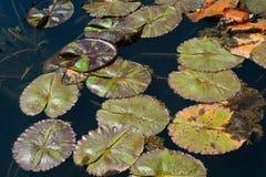 在一个镇静池塘的睡莲叶 免版税库存照片