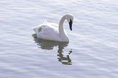 在一个镇静湖的优美的被标记的野天鹅游泳, environm 库存图片
