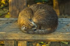 在一个长木凳的困猫在一片树荫在夏天,在贝尔格莱德附近的Avala山下 免版税库存图片
