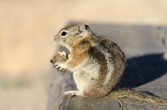 在一个长木凳的灰鼠在bryce canyonon在bryce峡谷的一个长木凳 库存图片