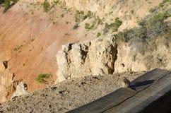 在一个长木凳的灰鼠在bryce canyonon在bryce峡谷的一个长木凳 图库摄影