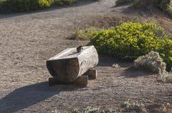 在一个长木凳的灰鼠在bryce canyonon在bryce峡谷的一个长木凳 免版税库存照片