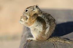 在一个长木凳的灰鼠在bryce canyonon在bryce峡谷的一个长木凳 库存照片