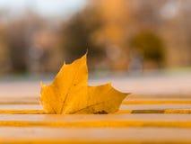 在一个长木凳的金黄槭树事假 库存照片