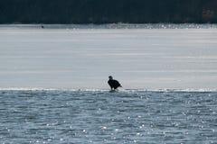 在一个闪耀的湖的白头鹰 库存图片