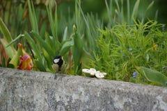 在一个阳台边缘的一只伟大的山雀有在额嘴的一首诗歌的 法国 图库摄影