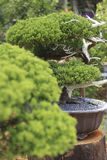 在一个陶瓷罐的一棵盆景杉树 免版税库存图片