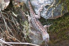 在一个青苔隐蔽的岩石的蜥蜴 图库摄影