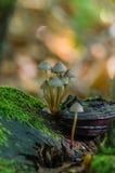 在一个青苔隐蔽的树桩的蘑菇 免版税库存图片