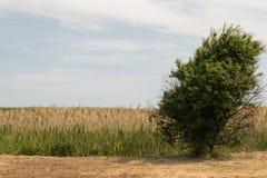 在一个领域中间的一棵偏僻的生长树在背景中是大厅 免版税库存照片