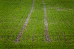 在一个领域的一个美好的绿色样式在春天 新的草行  免版税库存图片