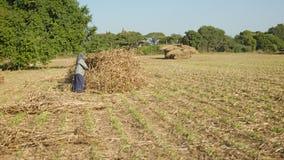 在一个领域的一乡村妇女工作通过投入玉米在堆 免版税库存照片