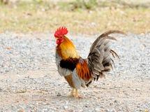在一个领域的一只明亮地色的公鸡春天 免版税库存图片