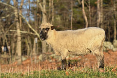 在一个领域的一只绵羊在早晨 免版税库存照片