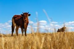 在一个领域的一头母牛与草 免版税图库摄影