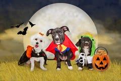 在一个领域的万圣夜狗与月亮 库存图片