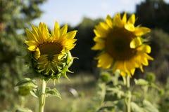 在一个领域的两个向日葵在树背景  开花 免版税库存照片