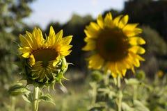 在一个领域的两个向日葵在树背景  开花 库存照片
